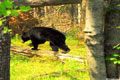 Free Black Bear Photo
