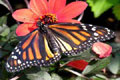 Free Monarch Butterfly Photo