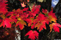 Free Red Leaves Photo