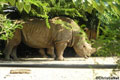 Free Rhinoceros Photo